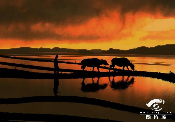 《黄昏牧牛》