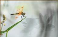 蜻蜓梦荷图